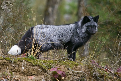Silver (Red) Fox standing on a small hill - CA