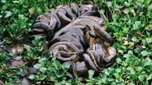 Snake pit anaconda